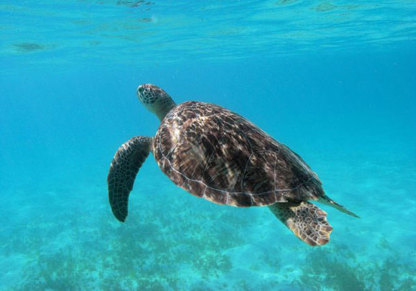 St Vincent and the Grenadines. Turtle